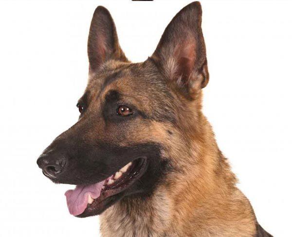 german-shepherd-dog-hero_1519641477342.jpg