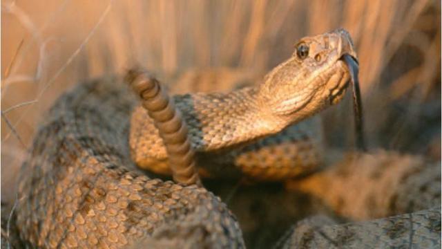 rattlesnake_1522669400022.jpg
