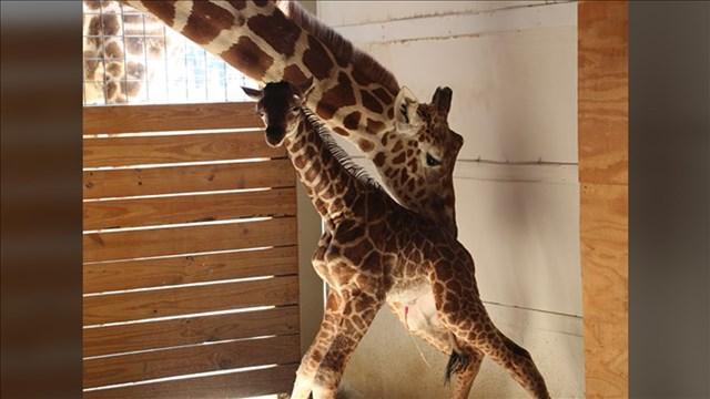 April the Giraffe_1532523513434.jpg