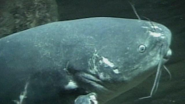 Catfish_1530800970822.jpg.jpg