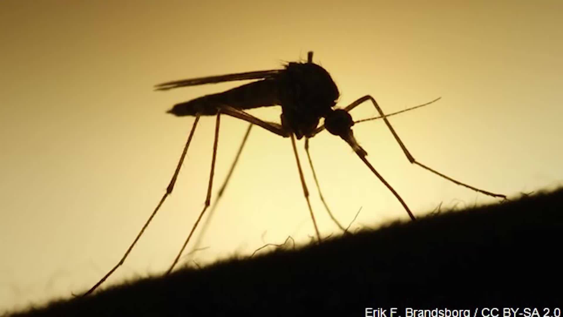 'Mega mosquitoes' up to 20 times larger than normal invading Carolinas