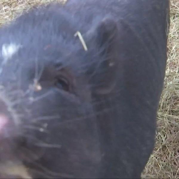 St. Albans Hosts First Ever PigPig Festival