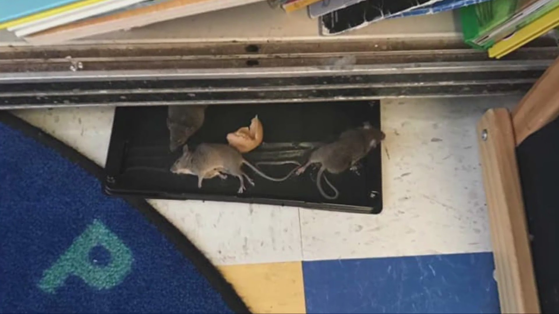 Mice Problem at Elementary School Raises Parents' Concerns on Safety
