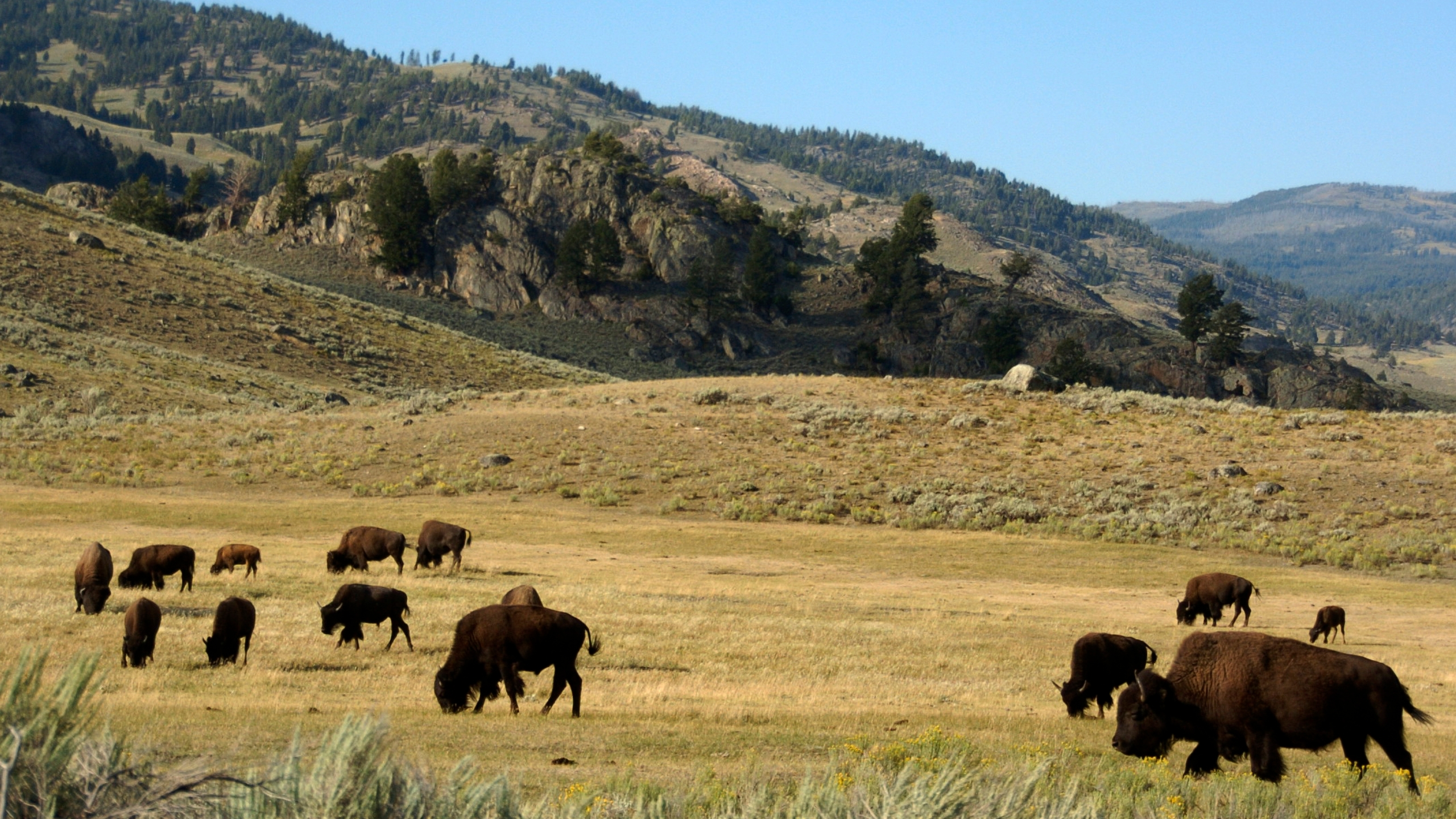 Yellowstone_Bison_Harassment_52189-159532.jpg24242909