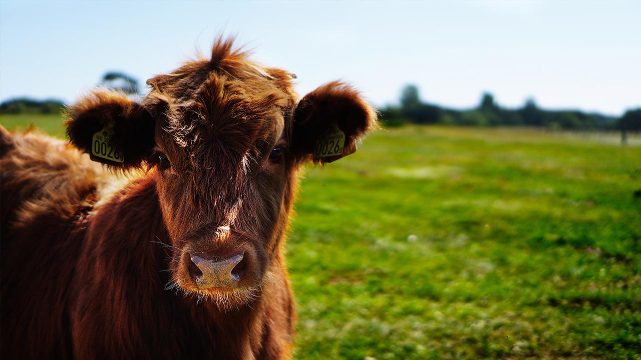 cow-animal-milk-calcium_1524163839985_363215_ver1_20180420053801-159532