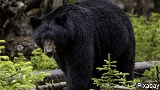 black bear_1559314437478.jpg.jpg
