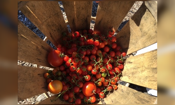 tomatoes_1557538616487.png