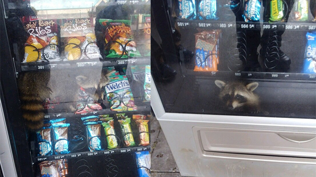 Raccoon freed after becoming trapped in vending machine