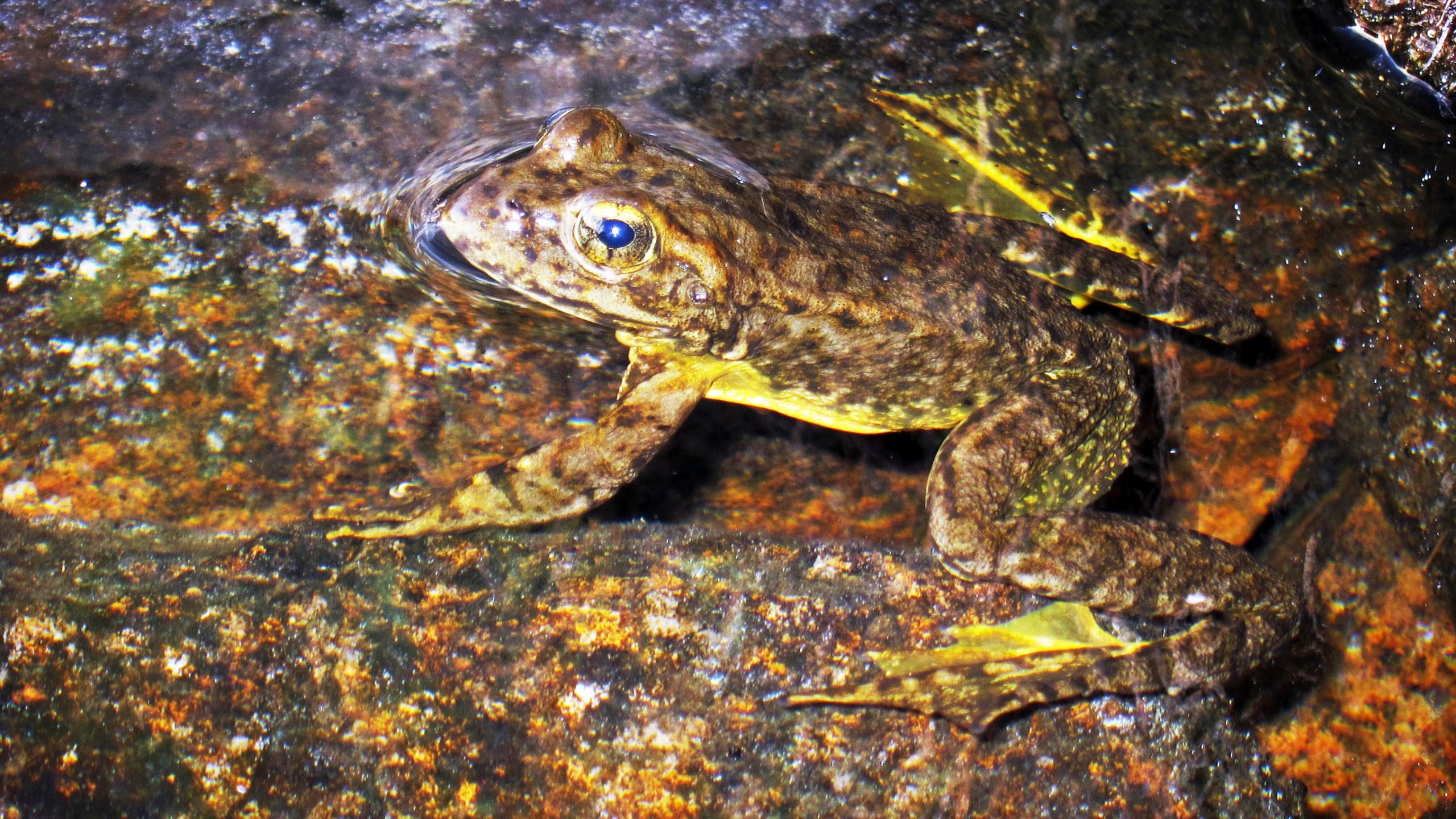 yellow-legged frog
